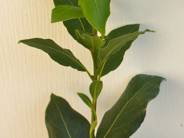 In Search Of: Wanted: Laurel Bay tree - starting plant