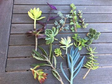 Selling: Assorted Succulent Cuttings