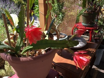 Selling: Red epiphyllums-orchid cacti (cuttings)