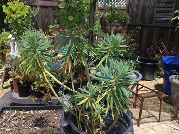 Selling: Mediterranean Spurge - Euphorbia characias (large)