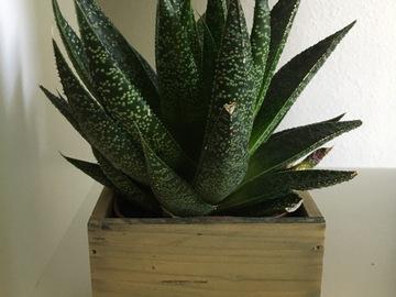 Selling: Aloe Aristata in Square Wooden Box
