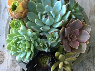 Selling: Succulent Arrangement in Round Concrete Planter