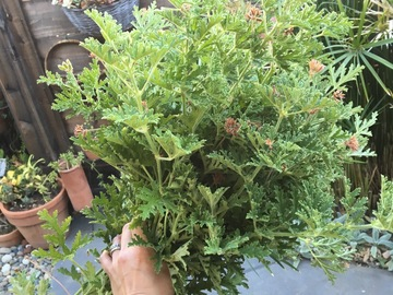 Giving away: Citronella (anti-mosquito plants) cuttings