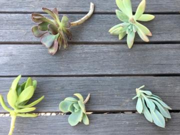 Selling: Succulent cuttings (bulk price)