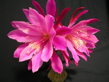 """Selling: orchid cactus hybrid """"ASTRONAUT """"-Don's QT. potted"""