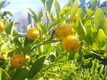 Giving away: Nasnaran Mandarin Fruits (Jeruk Limau) - Citrus Amblycarpa
