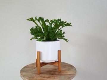 Selling: Asplenium Antiquum Leslie Fern (Plant only)