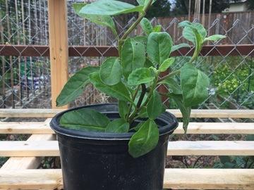 Selling: Longevity Spinach - 1 Gallon Pot