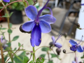 Selling: Clerodendrum Ugandense - blue butterfly bush