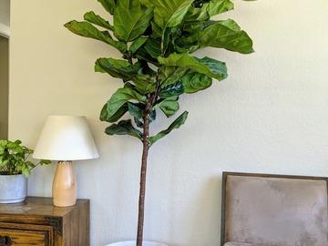 Selling: Fiddle-leaf fig (6-7 ft tree-like)