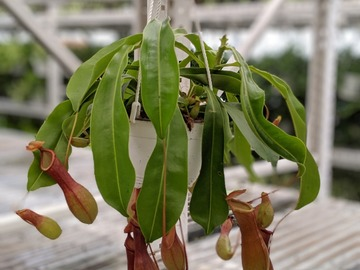Selling: Tropical Pitcher Plant (Monkey Cups)