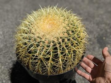 Selling: Barrel cactus - Large