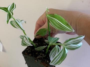 Selling: Lilac 'Tradescantia Flumenisis'