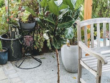 Selling: Fiddle leaf fig (4-5 ft tree-like)