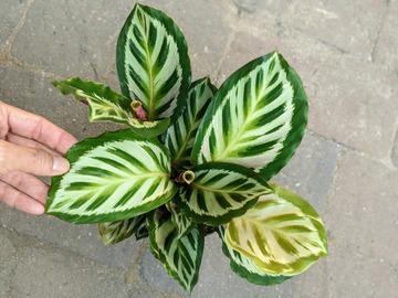 Join wait list: Calathea roseopicta cora