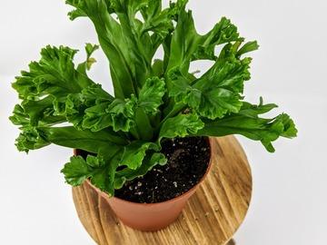 Selling: Asplenium Antiquum Leslie Fern (4 in pot)
