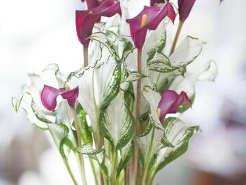 In Search Of: zantedeschia frozen queen