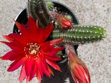 Selling: Echinopsis 'Rose Quartz' - peanut cactus