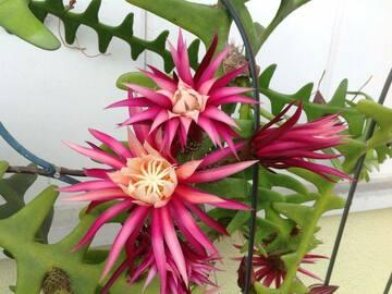 Selling: Epiphyllum Rick-Rack, Seleniecerus Anthonyanus