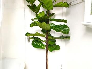 Selling: Large Ficus Lyrata Tree