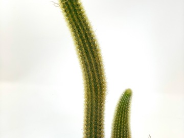 Selling: Rat tail cactus