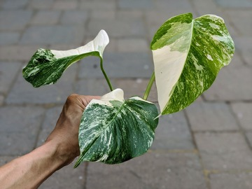 Monstera deliciosa  albo top cutting (not rooted)