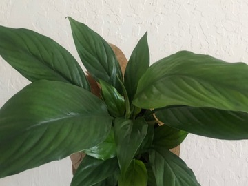 Selling: Peace Lily