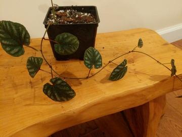 Cissus discolor 'Rex begonia vine'