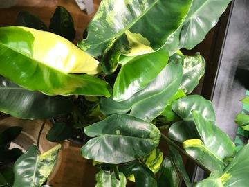 Join wait list: Philodendron burle-marxii 'Variegata'