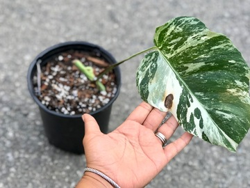 Join wait list: Rooted Monstera Albo cutting - SOLD