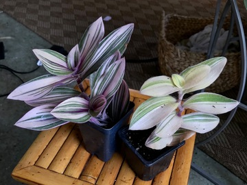 Join wait list: Very rare - Tradescantia Combo- Sold
