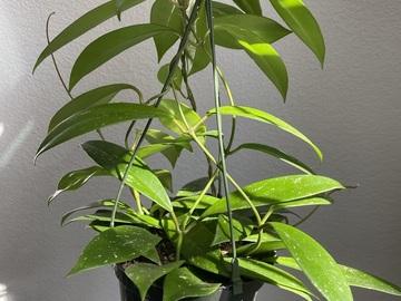 Selling: Hoya Pubicalyx
