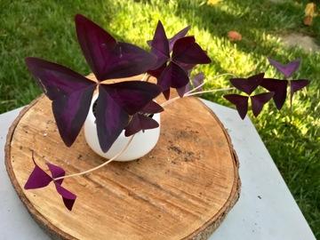 Selling: Oxalis triangularis in ceramic pot - SOLD