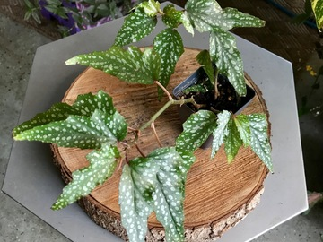 "Join wait list: 3"" Begonia starter plant-Sold"