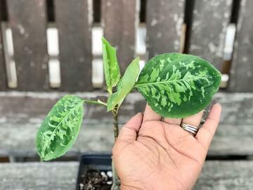Selling: Aglaonema pictum bicolor