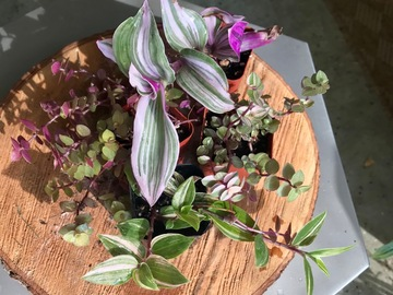 """Join wait list: 2"""" Tradescantia and Callisia pack  SOLD"""