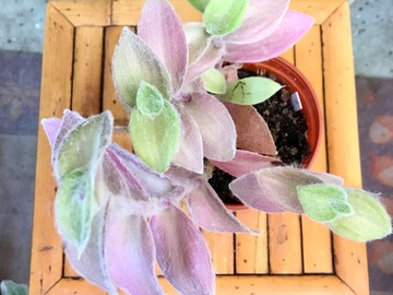 "Join wait list:  Tradescantia Sillamontana ""fuzzy"" SOLD"