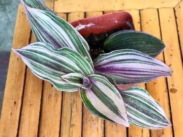 "Join wait list: 3"" Tradescantia ""pink furry "" -Very rare! Sold"