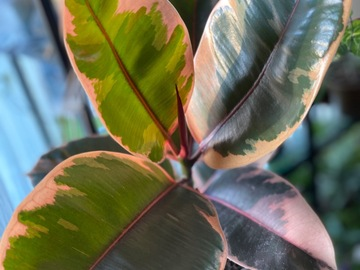 Selling: Ficus Elastica Rubber Plant Ruby