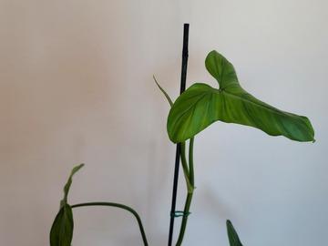 Join wait list: Philodendron sagittifolium