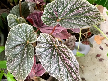 Join wait list: Begonia Maurice Amey SOLD