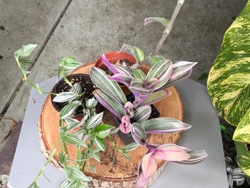Join wait list: Tradescantia combo (as requested) SOLD