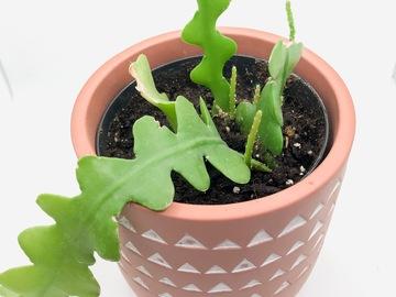 Selling: Ric Rac/Fishbone Cactus (Epiphyllum anguliger)