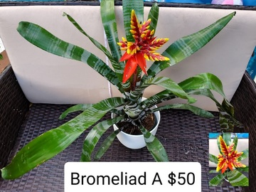 Selling: Tropical Bromeliad