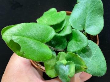Selling: Heart shape fern