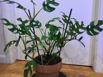 Selling: Rhaphidophora tetrasperma - mini monstera