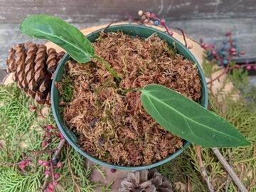 Join wait list: Anthurium warocqueanum (queen anthurium)