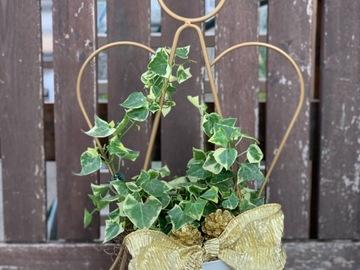 Selling: Senecio macroglosus/wax ivy in angel shaped metal trellis