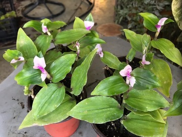 "Selling: Tradescantia ""Blushing bride"""