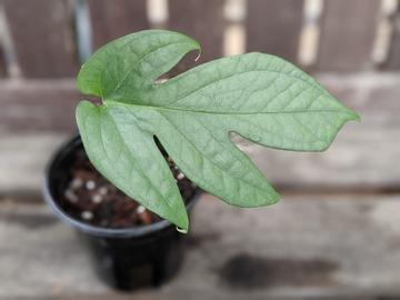 Selling: Amydrium silver - one leaf